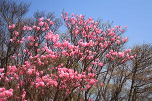 御在所岳に咲くアカヤシオの写真素材 [FYI02077251]