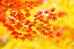 カエデの紅葉の写真素材 [FYI02077254]