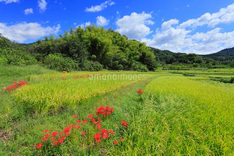 山の辺の道 彼岸花の写真素材 [FYI02077282]