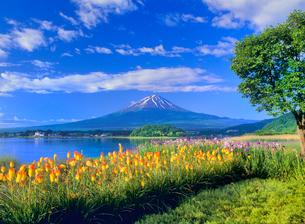トリトマ咲く河口湖と富士山の写真素材 [FYI02077332]