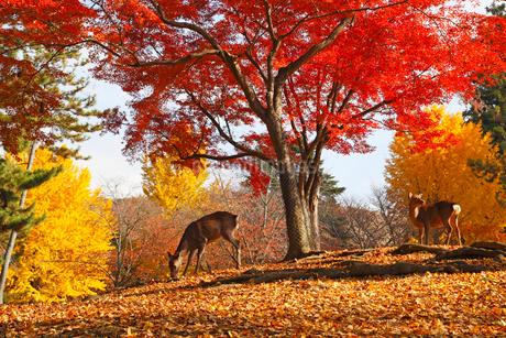 奈良公園 鹿と紅葉の写真素材 [FYI02077343]