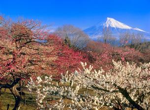 岩本山のウメと富士山の写真素材 [FYI02077350]