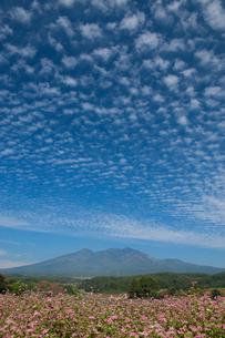 八ヶ岳高原より赤ソバの花と八ケ岳の写真素材 [FYI02077375]