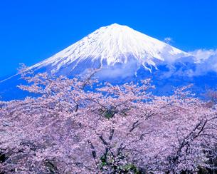 大石寺よりサクラと富士山の写真素材 [FYI02077404]