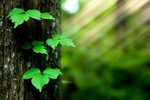 樹木と共生する葉と光芒の写真素材 [FYI02077429]