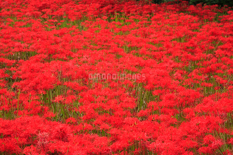 葛城古道の彼岸花の写真素材 [FYI02077464]