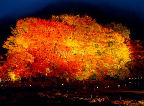 河口湖の紅葉ライトアップの写真素材 [FYI02077476]
