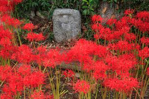 葛城古道の彼岸花の写真素材 [FYI02077608]