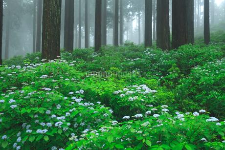 コアジサイと杉林の写真素材 [FYI02077630]