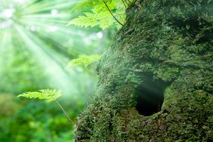 森の中のシダと光芒の写真素材 [FYI02077641]