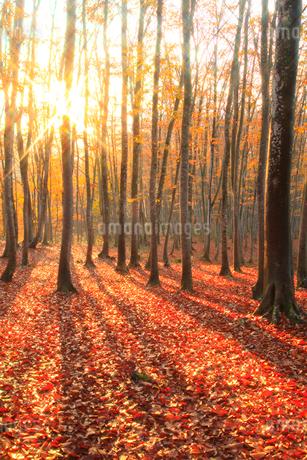ブナ紅葉と朝日の写真素材 [FYI02077799]