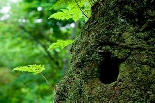 森の中で樹木と共生するシダの写真素材 [FYI02077813]