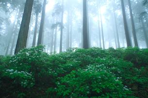 コアジサイと杉林の写真素材 [FYI02077925]