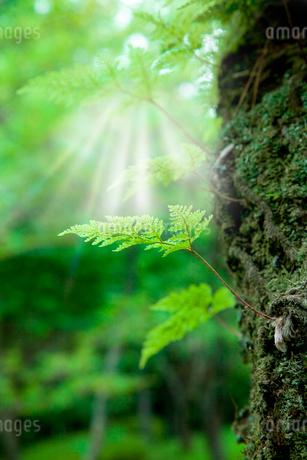 森の中のシダと光芒の写真素材 [FYI02077928]