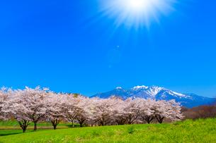 八ヶ岳高原 蕪(かぶら)桜並木と南アルプス、太陽光の写真素材 [FYI02078020]
