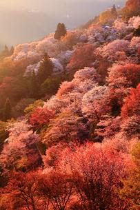 朝日に染まる吉野山 ヤマザクラの写真素材 [FYI02078150]