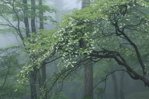 大台ケ原 シロヤシオの写真素材 [FYI02078193]