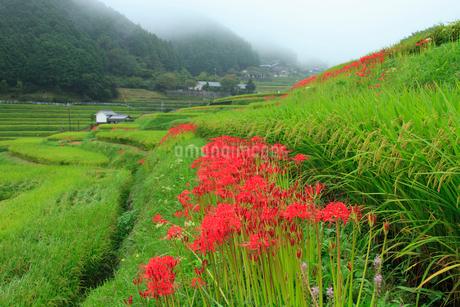 明日香 ヒガンバナ咲く細川集落の写真素材 [FYI02078225]