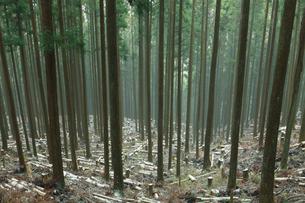 吉野杉の林の写真素材 [FYI02078241]