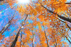 紅葉のブナ林の写真素材 [FYI02078309]