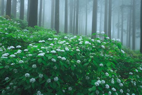 コアジサイと杉林の写真素材 [FYI02078332]