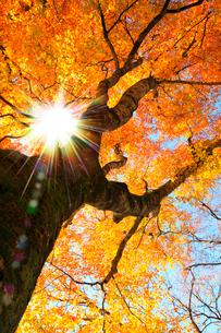ブナ紅葉と太陽の写真素材 [FYI02078358]
