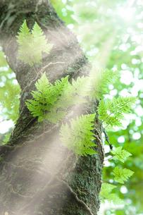 森の中のシダと光芒の写真素材 [FYI02078372]