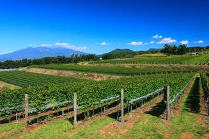 ブドウ畑と八ヶ岳の写真素材 [FYI02078424]