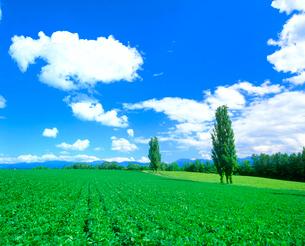 ポプラと小豆畑の写真素材 [FYI02078568]