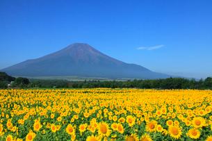 夏の富士山とヒマワリ畑の写真素材 [FYI02078582]