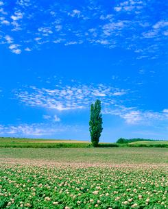 ポプラとジャガイモの花の写真素材 [FYI02078614]