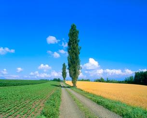 ポプラとビート畑、小麦畑の写真素材 [FYI02078680]