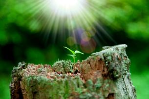 切り株に芽吹く若葉と光の写真素材 [FYI02078795]