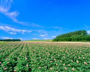 花咲くジャガイモ畑の写真素材 [FYI02078864]