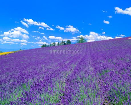 ラベンダー畑の写真素材 [FYI02078908]