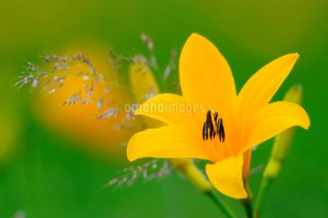 ニッコウキスゲの花の写真素材 [FYI02078923]