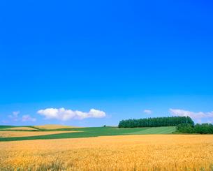 小麦畑とカラマツ林の写真素材 [FYI02078941]