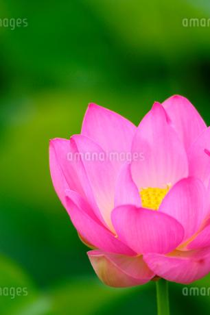 ハスの花の写真素材 [FYI02079019]