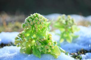 フキノトウと残雪の写真素材 [FYI02079064]