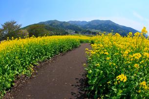 ナノハナ畑と小道の写真素材 [FYI02079253]
