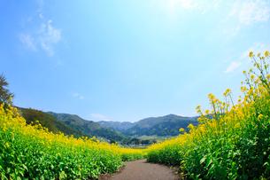 ナノハナ畑と小道の写真素材 [FYI02079260]