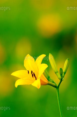 ニッコウキスゲの花の写真素材 [FYI02079274]