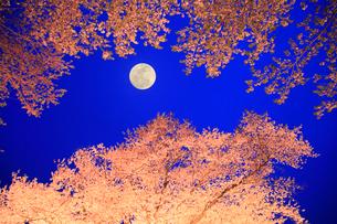 サクラのライトアップに月の写真素材 [FYI02079378]