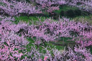 フルーツライン 桃の段々畑の写真素材 [FYI02079395]