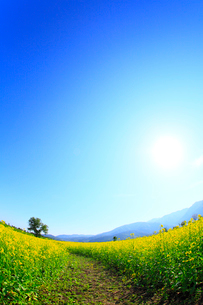 ナノハナ畑と小道 太陽の写真素材 [FYI02079423]