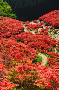 葛城山のツツジの写真素材 [FYI02079434]