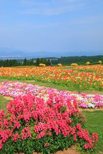 生駒高原 金魚草・リビングストンデージー・ポピーの花畑の写真素材 [FYI02079539]