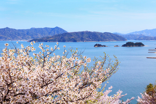 瀬戸内海 大三島のサクラの写真素材 [FYI02079541]
