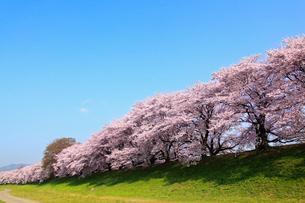 背割堤の桜並木の写真素材 [FYI02079542]