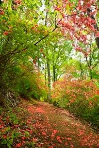 ヤマツツジの花散り敷く道の写真素材 [FYI02079570]